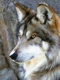 蜡笔小新之家里有只狼