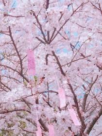 青春:指尖上的樱花